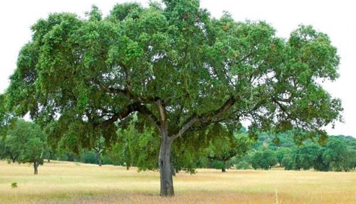 شجرة بلوط الفلين